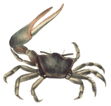 Fiddler Crab Backgrounds on Wallpapers Vista