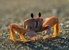 Fiddler Crab High Quality Background on Wallpapers Vista