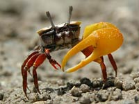 Fiddler Crab Pics, Animal Collection