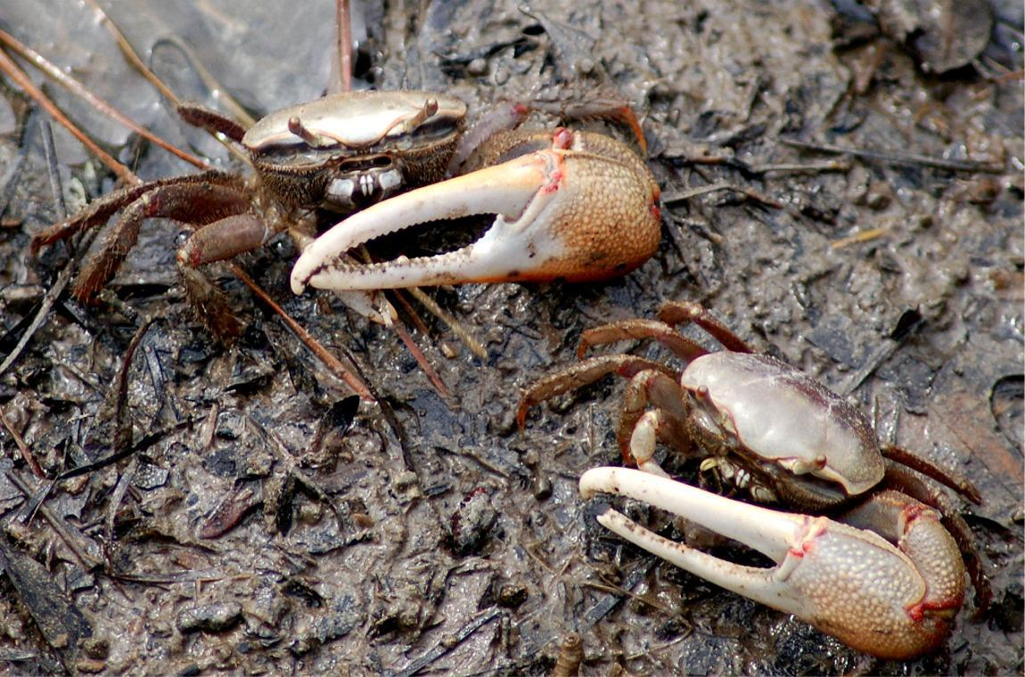 High Resolution Wallpaper | Fiddler Crab 1150x760 px