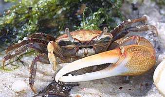 Fiddler Crab Backgrounds, Compatible - PC, Mobile, Gadgets| 339x200 px