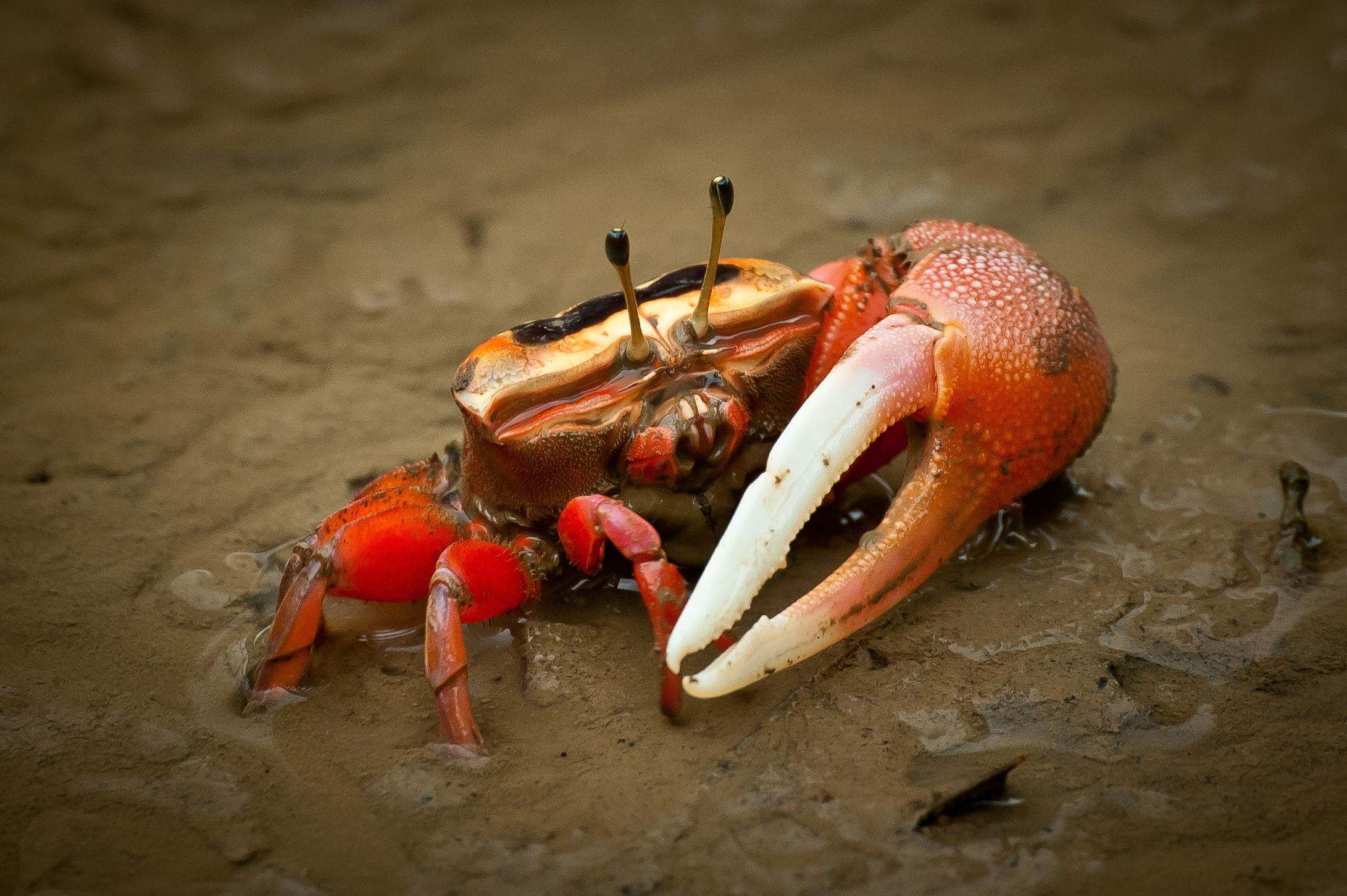 Images of Fiddler Crab | 2182x1452