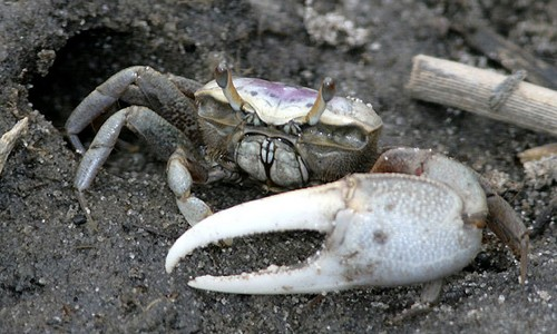 Nice Images Collection: Fiddler Crab Desktop Wallpapers