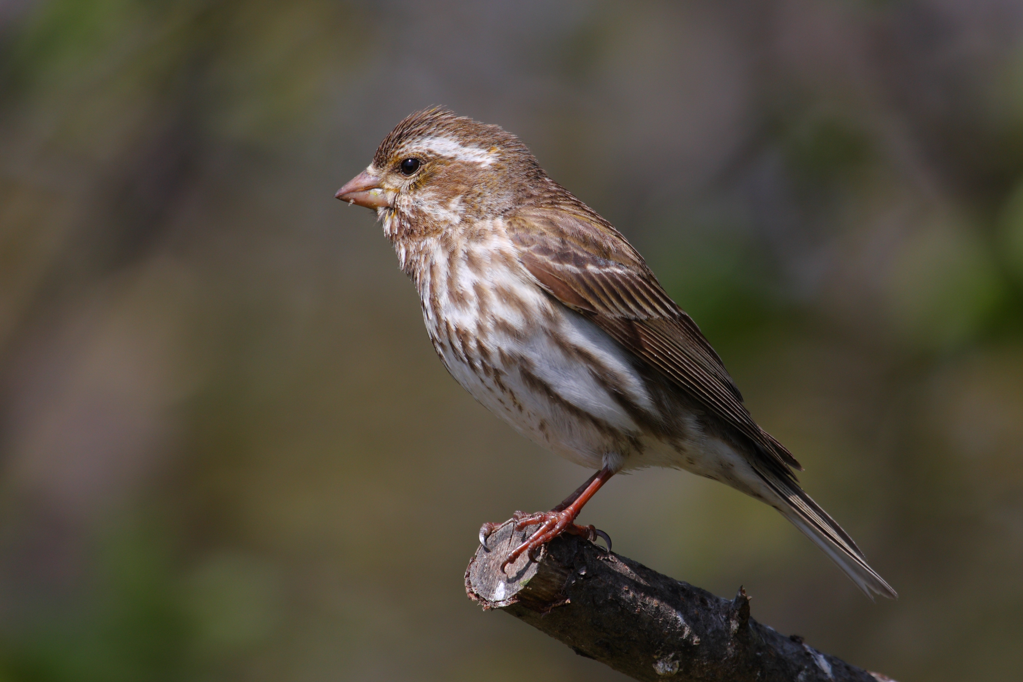 HD Quality Wallpaper | Collection: Animal, 3432x2288 Finch