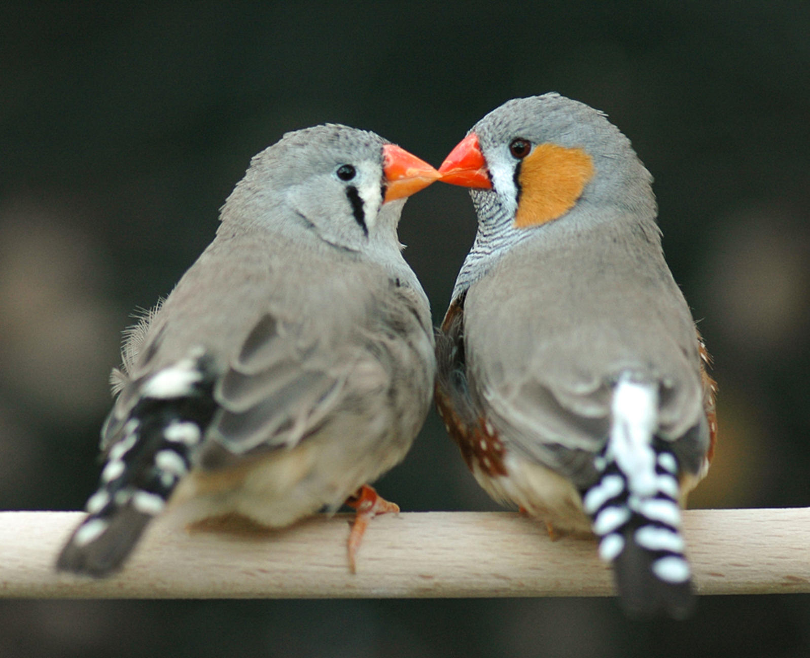 Finch Pics, Animal Collection