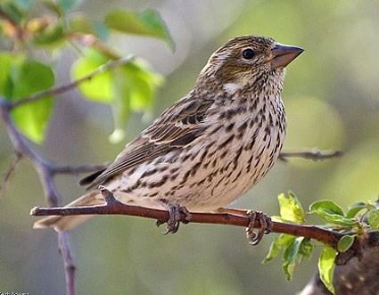 Finch #13