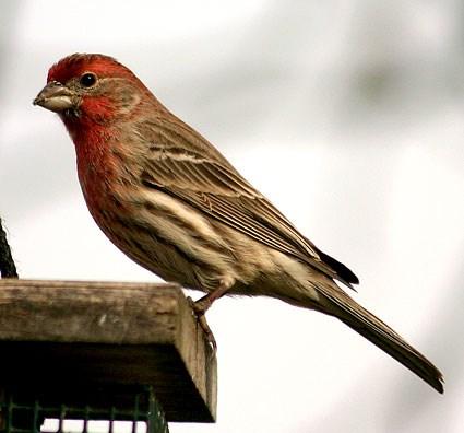 Finch #19