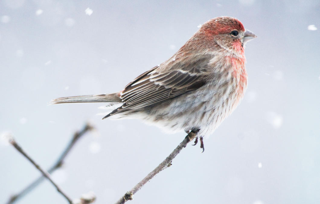 HD Quality Wallpaper | Collection: Animal, 1060x678 Finch