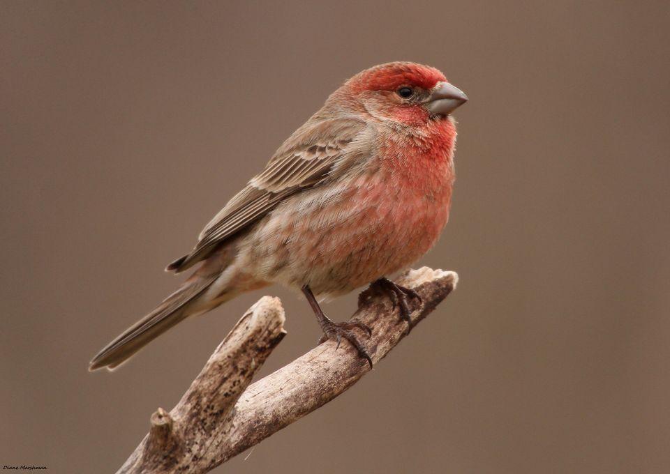 Finch #18