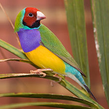 Images of Gouldian Finch | 220x220