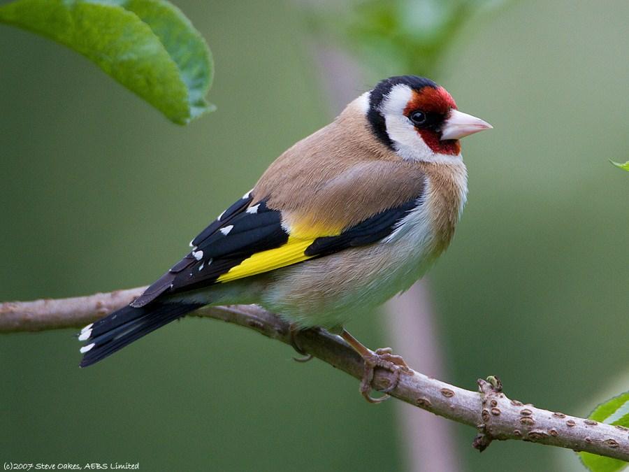 Finch #25