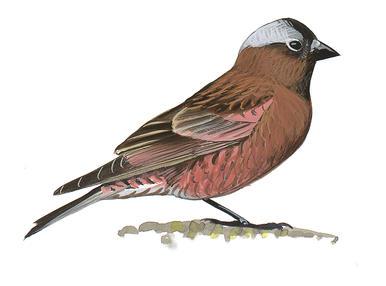 Finch #17