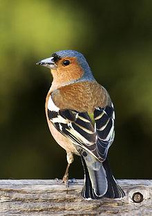 Finch #11