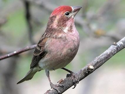 Finch #14