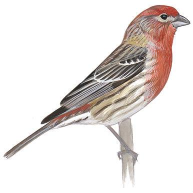 Finch #12