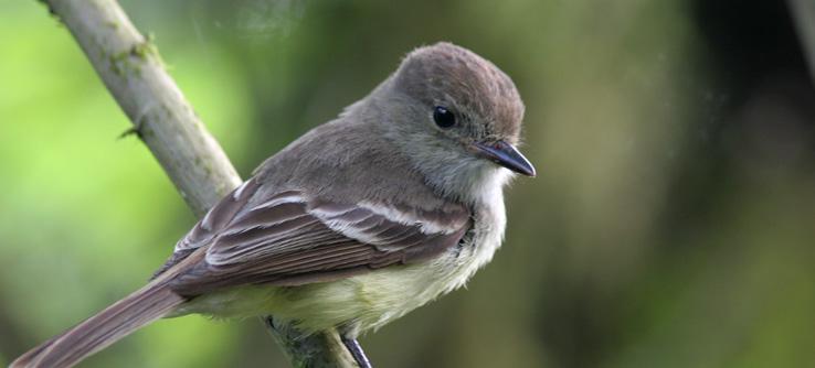 Finch #21