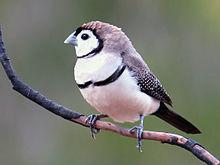 Finch #16