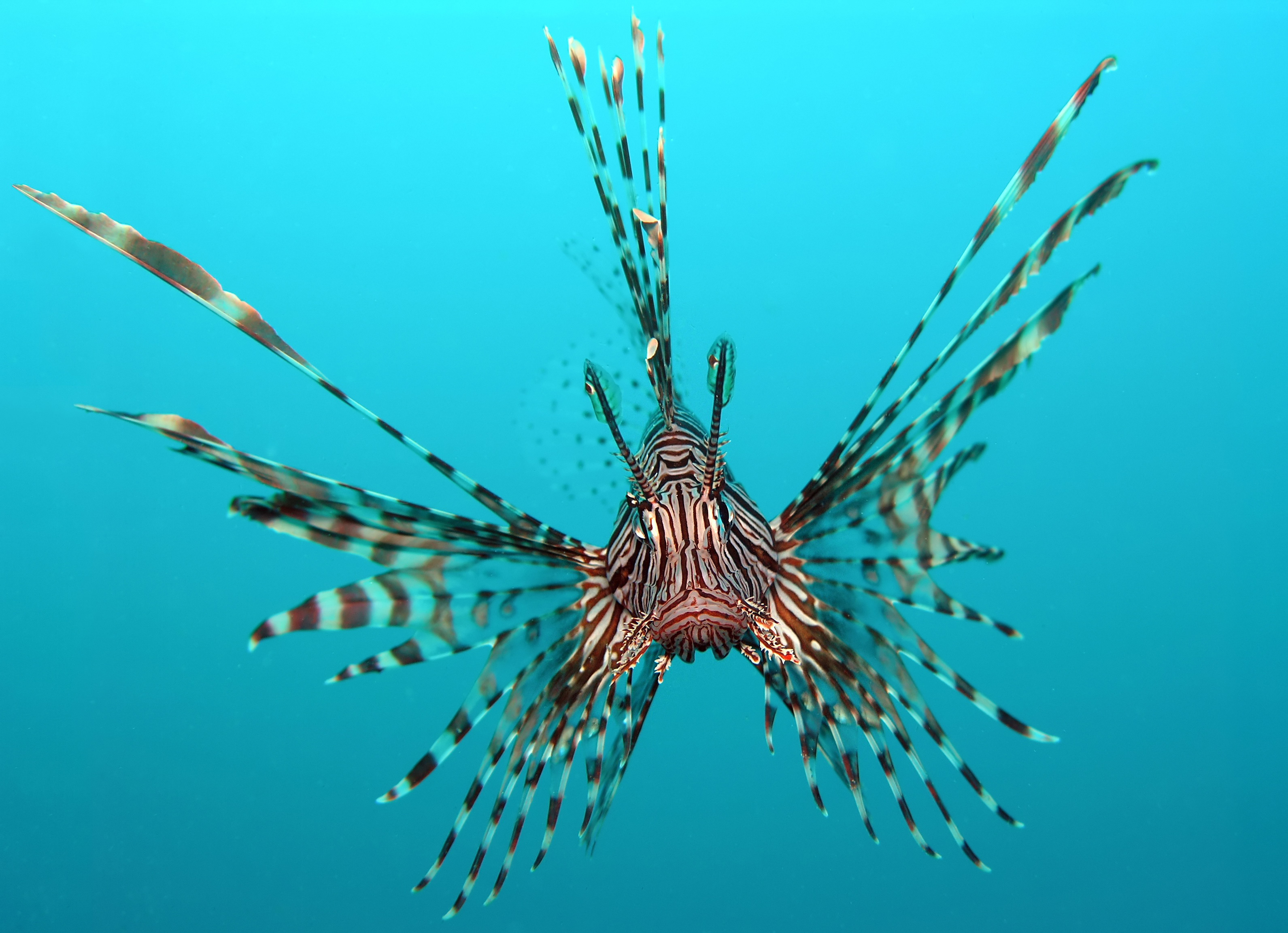 Amazing Lionfish Pictures & Backgrounds