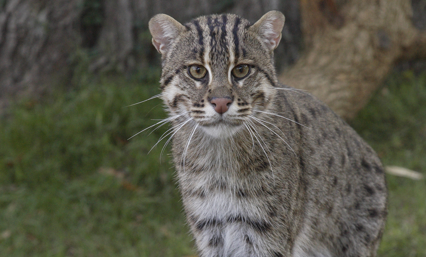 Images of Fishing Cat | 1400x845