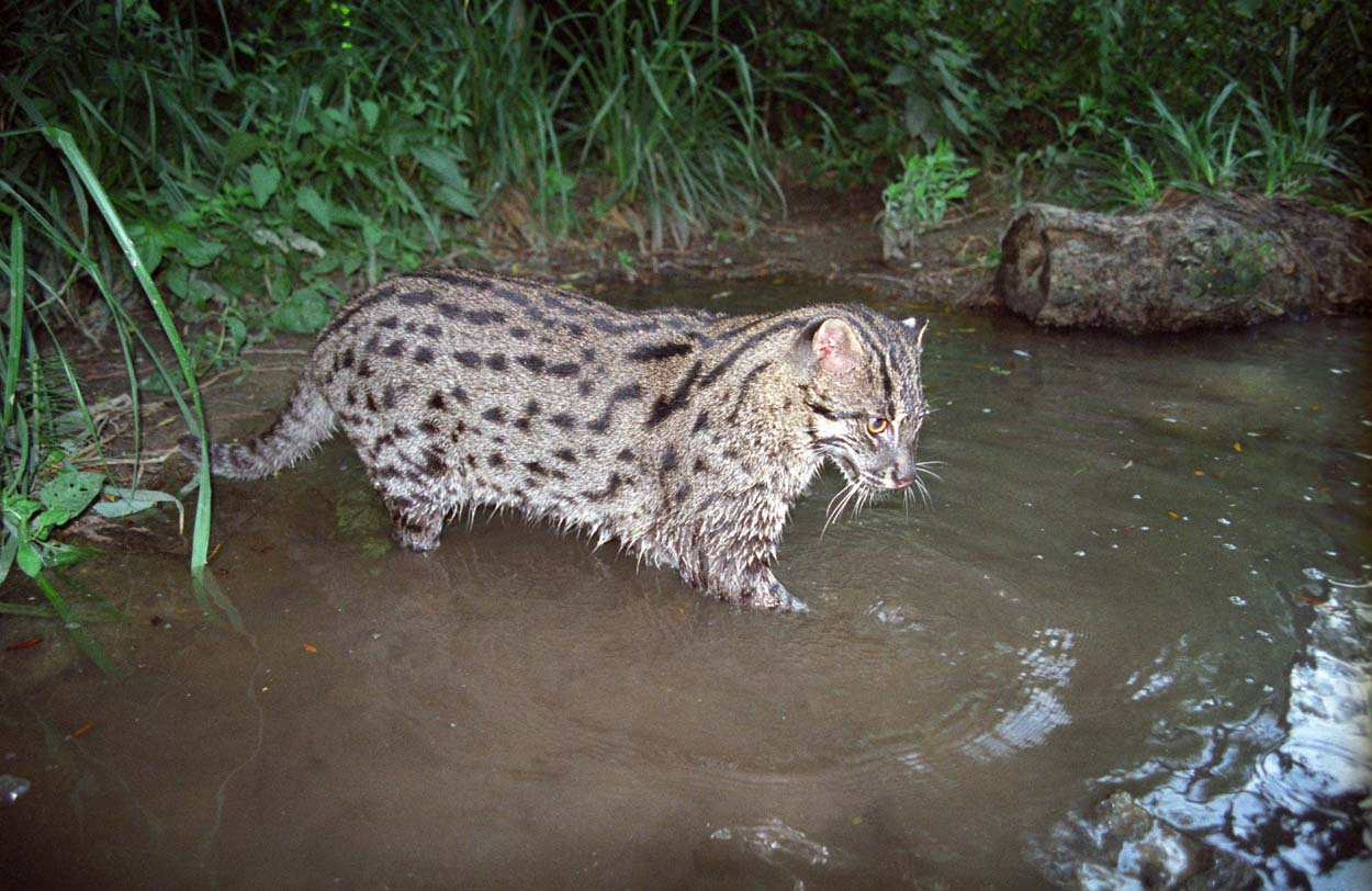 Nice Images Collection: Fishing Cat Desktop Wallpapers
