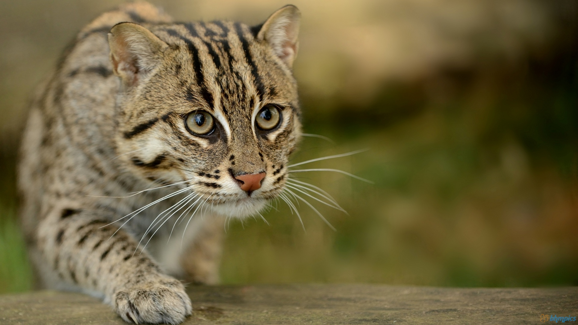 HD Quality Wallpaper | Collection: Animal, 1920x1080 Fishing Cat