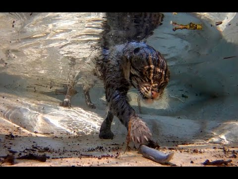 Fishing Cat High Quality Background on Wallpapers Vista