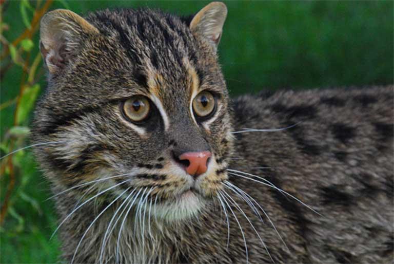 HQ Fishing Cat Wallpapers | File 46.48Kb