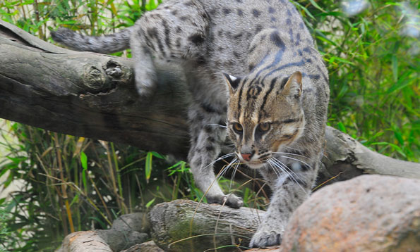 HQ Fishing Cat Wallpapers | File 67.86Kb