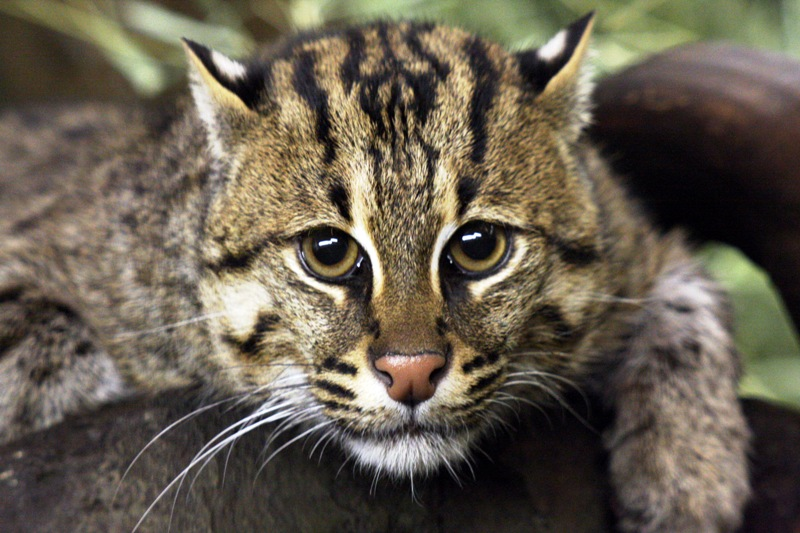 HD Quality Wallpaper | Collection: Animal, 800x533 Fishing Cat