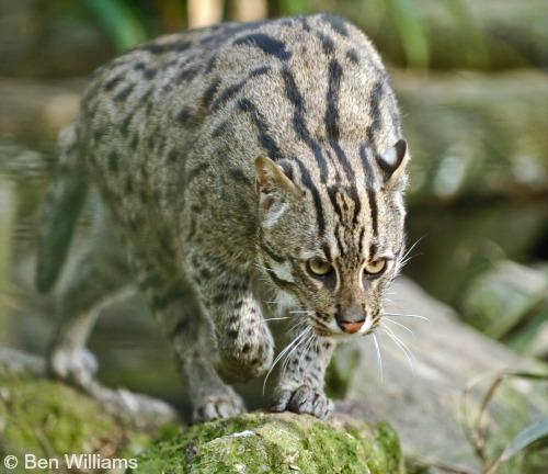 Nice wallpapers Fishing Cat 500x432px