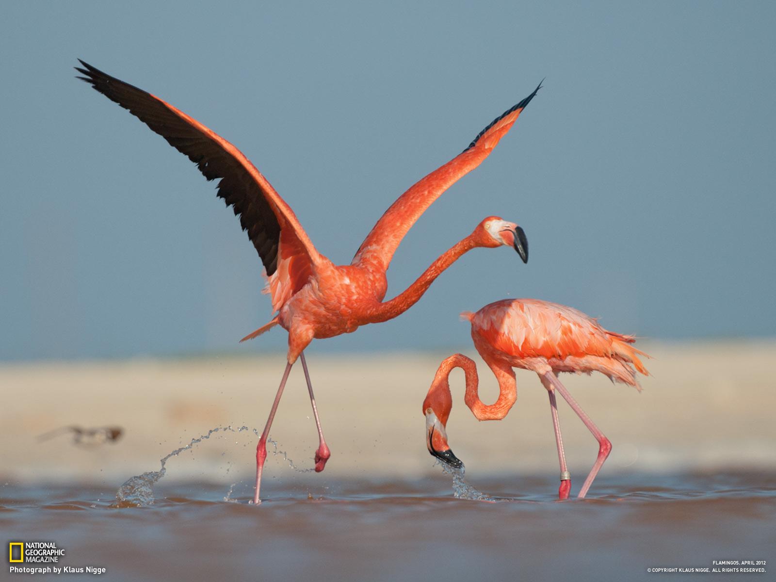 Flamingo Pics, Animal Collection