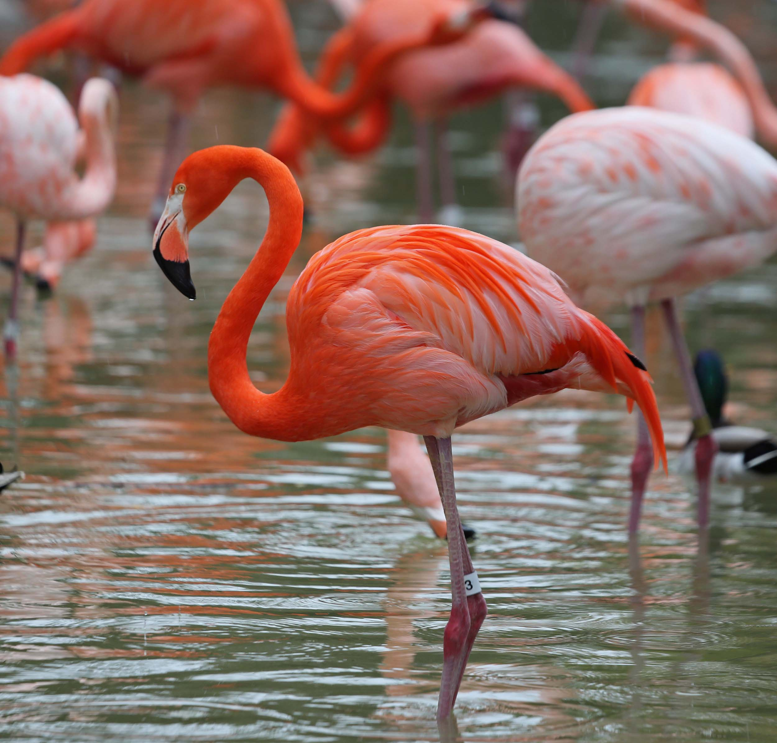 Nice wallpapers Flamingo 2500x2389px