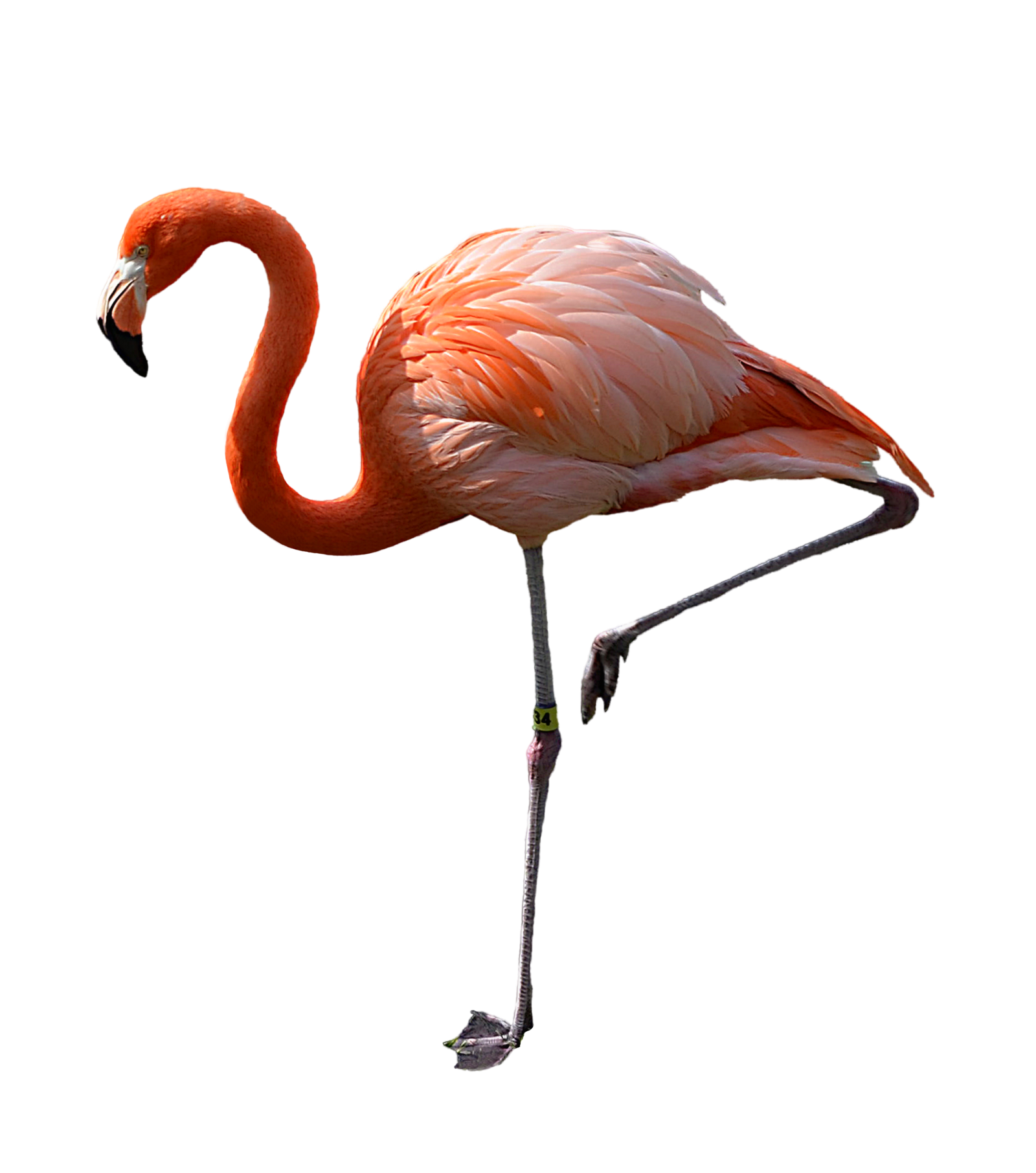HD Quality Wallpaper | Collection: Animal, 1600x1811 Flamingo