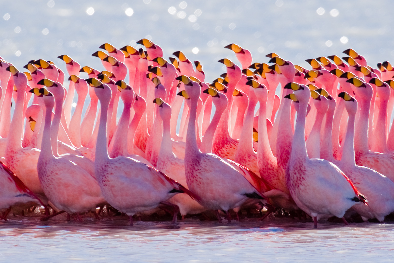 HD Quality Wallpaper | Collection: Animal, 1600x1067 Flamingo
