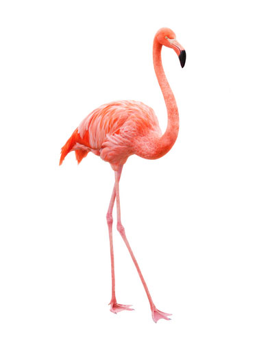 Amazing Flamingo Pictures & Backgrounds