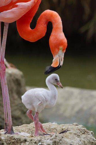 332x500 > Flamingo Wallpapers