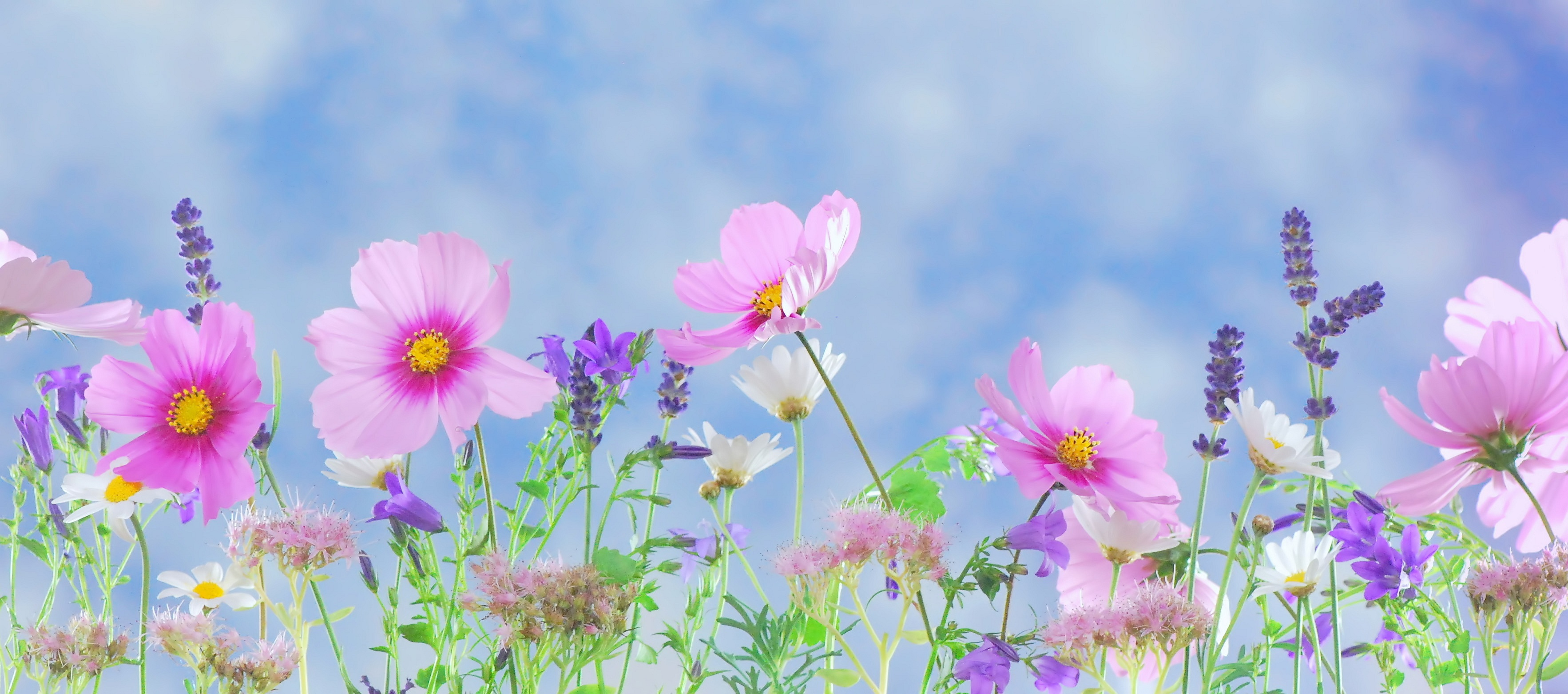 Flowers Backgrounds, Compatible - PC, Mobile, Gadgets| 3531x1562 px