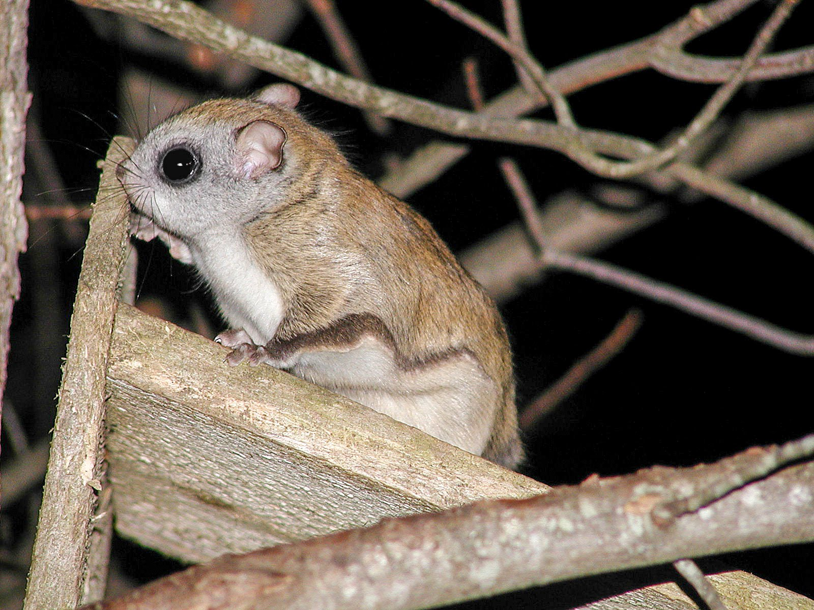 1600x1200 > Flying Squirrel Wallpapers