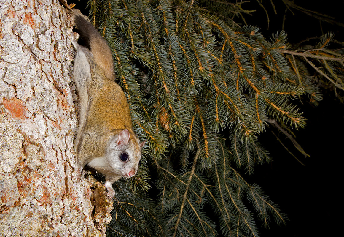 HQ Flying Squirrel Wallpapers | File 544.43Kb