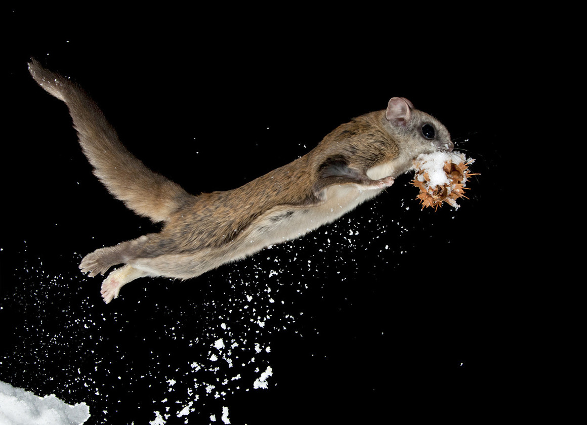 Flying Squirrel High Quality Background on Wallpapers Vista