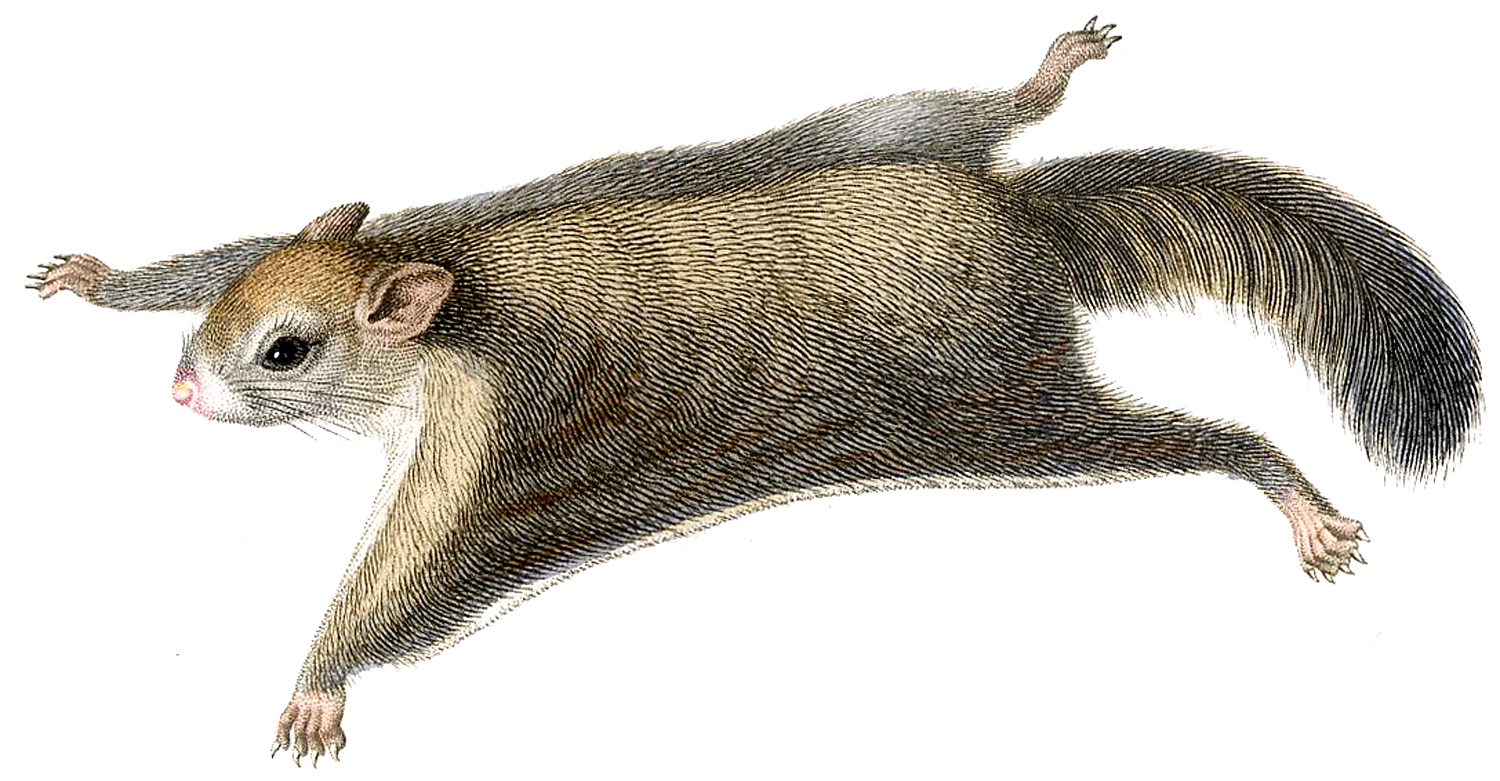 High Resolution Wallpaper | Flying Squirrel 1500x781 px