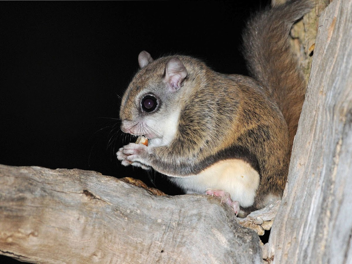 HD Quality Wallpaper | Collection: Animal, 1200x902 Flying Squirrel