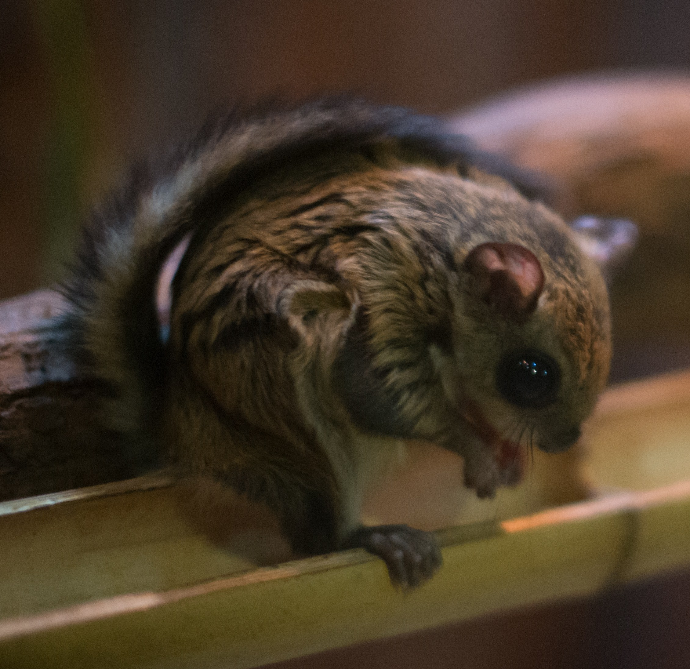 Images of Flying Squirrel | 2260x2191