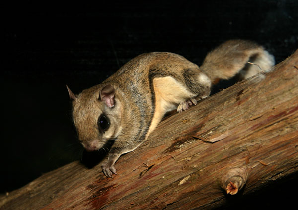 600x423 > Flying Squirrel Wallpapers