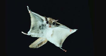 HD Quality Wallpaper | Collection: Animal, 350x187 Flying Squirrel
