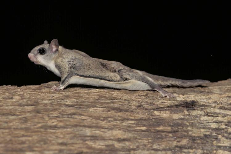 750x500 > Flying Squirrel Wallpapers