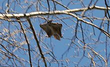 HD Quality Wallpaper | Collection: Animal, 220x135 Flying Squirrel