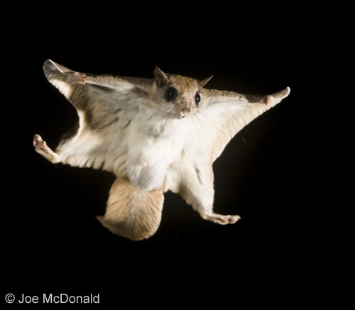 500x437 > Flying Squirrel Wallpapers
