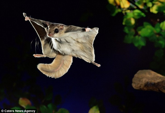 Nice Images Collection: Flying Squirrel Desktop Wallpapers