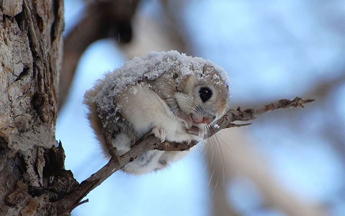 Flying Squirrel Pics, Animal Collection